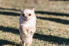 Малая здоровая собака чихуахуа в беге Стоковые Изображения RF