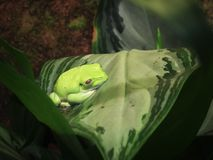 Малая зеленая древесная лягушка pn лист Стоковые Фото