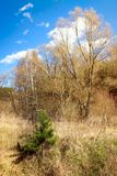 Малая зеленая сосна в сухой траве Стоковые Фото