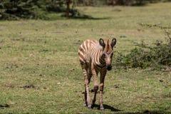 Малая коричневая зебра в африканской саванне Стоковые Изображения