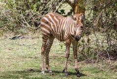 Малая коричневая зебра в африканской саванне Стоковое фото RF