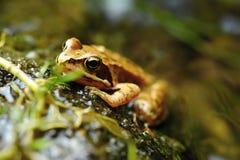 Малая коричневая лягушка Стоковое Изображение