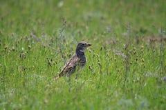 Малая коричневая птица поля сидит в траве Стоковое Изображение RF