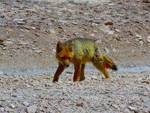 Малая лиса идя вокруг в горы Боливии стоковые фотографии rf