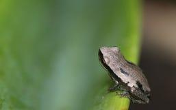 Малая лягушка на обширных листьях Стоковое Изображение RF