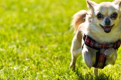 Малая молодая милая собака чихуахуа бежит Стоковое Изображение RF