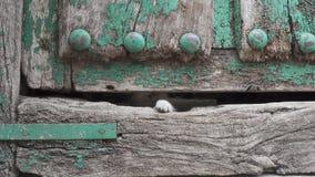 Малая нога киски через старое деревянное отверстие двери сток-видео