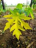 Малая папапайя выходит желтые цветки и зеленый цвет стоковые фотографии rf