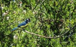 Малая птица с животом сини задним и желтым сидит на ветви Стоковая Фотография RF