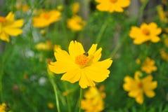 Малая пчела работая на цветке космоса Стоковые Фотографии RF
