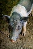 Малая свинья, миниатюрная свинья Стоковая Фотография RF
