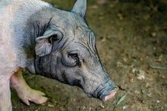 Малая свинья, миниатюрная свинья Стоковые Изображения