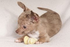 малая собака жуя косточку стоковые фотографии rf