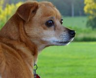 Малая собака на сигнале тревоги Стоковые Фотографии RF