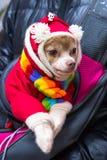 Малая собака породы чихуахуа в красном костюме с белыми помпонами и пестротканым шарфом стоковая фотография rf