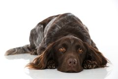 Малая собака munsterlander на белой предпосылке Стоковое фото RF