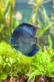 Малая тропическая рыба плавает в чистую воду Стоковое Фото