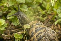 Малая улитка в вегетации в поисках еды Стоковые Фото