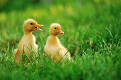 Малая утка зеленой травы Стоковая Фотография