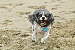 Малая черно-белая собака cavachon бежать на пляже Стоковое Изображение RF