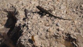 Малая ящерица на утесе видеоматериал