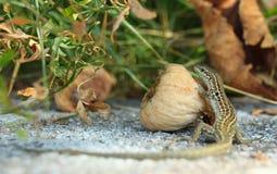 Малая ящерица около смоквы Стоковые Изображения RF