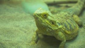 Малая ящерица сидя на том основании видеоматериал