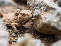 Малая Horned жаба на земных близко утесах стоковая фотография rf