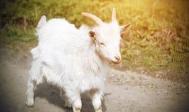 Маленькая белая коза едет joyfully вдоль дороги деревни стоковая фотография