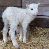Маленькая белая овечка стоя на одних имеет Стоковые Фото