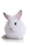 маленькая белизна кролика Стоковые Изображения RF