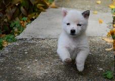 маленькая белизна щенка Стоковое Изображение RF