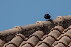 Маленькая ворона есть на крыше стоковая фотография rf