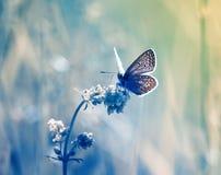 маленькая голубая бабочка, мед-бабочка сидит на чувствительном Стоковое Фото