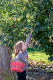 Маленькая девочка достигая для золотых яблок Стоковая Фотография