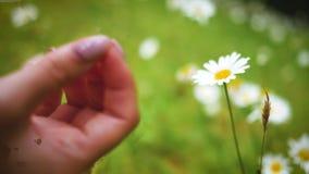 Маленькая девочка касаясь маргариткам с ее рукой в саде летом видеоматериал