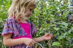 Маленькая девочка комплектуя голубики 01 стоковое фото