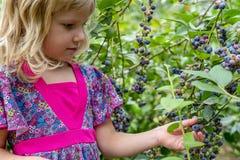 Маленькая девочка комплектуя голубики 01 стоковые фотографии rf