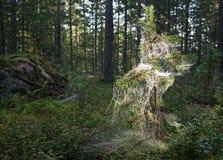 Маленькая задвижка дерева сосенки в паутине Стоковое Фото