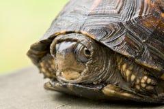 маленькая застенчивая черепаха стоковая фотография rf