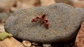 Маленькая красивая бабочка сидит на сухом камне видеоматериал