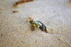 Маленькая лягушка на песке на пляже моря Предпосылка песка Amphi Стоковое Изображение