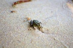 Маленькая лягушка на песке на пляже моря Предпосылка песка Amphi Стоковые Изображения