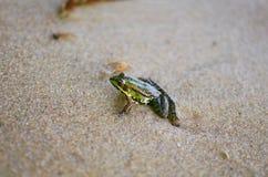 Маленькая лягушка на песке на пляже моря Предпосылка песка Amphi Стоковое Изображение RF