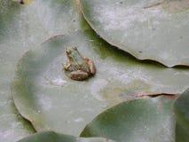 Маленькая лягушка отдыхая на листьях лилии стоковая фотография