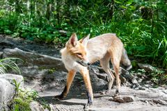 Маленькая молодая лиса в в парке Taganay в южных горах Ural России стоковые фото
