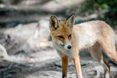 Маленькая молодая лиса в в парке Taganay в южных горах Ural России стоковое фото