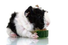 Маленькая морская свинка с едой Стоковое Изображение