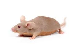 маленькая мышь стоковые изображения