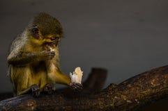 маленькая обезьяна еды Стоковое Изображение
